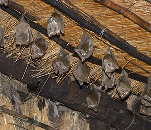 Bat Removal – Have A Clean Plus Bats-Free Surrounding